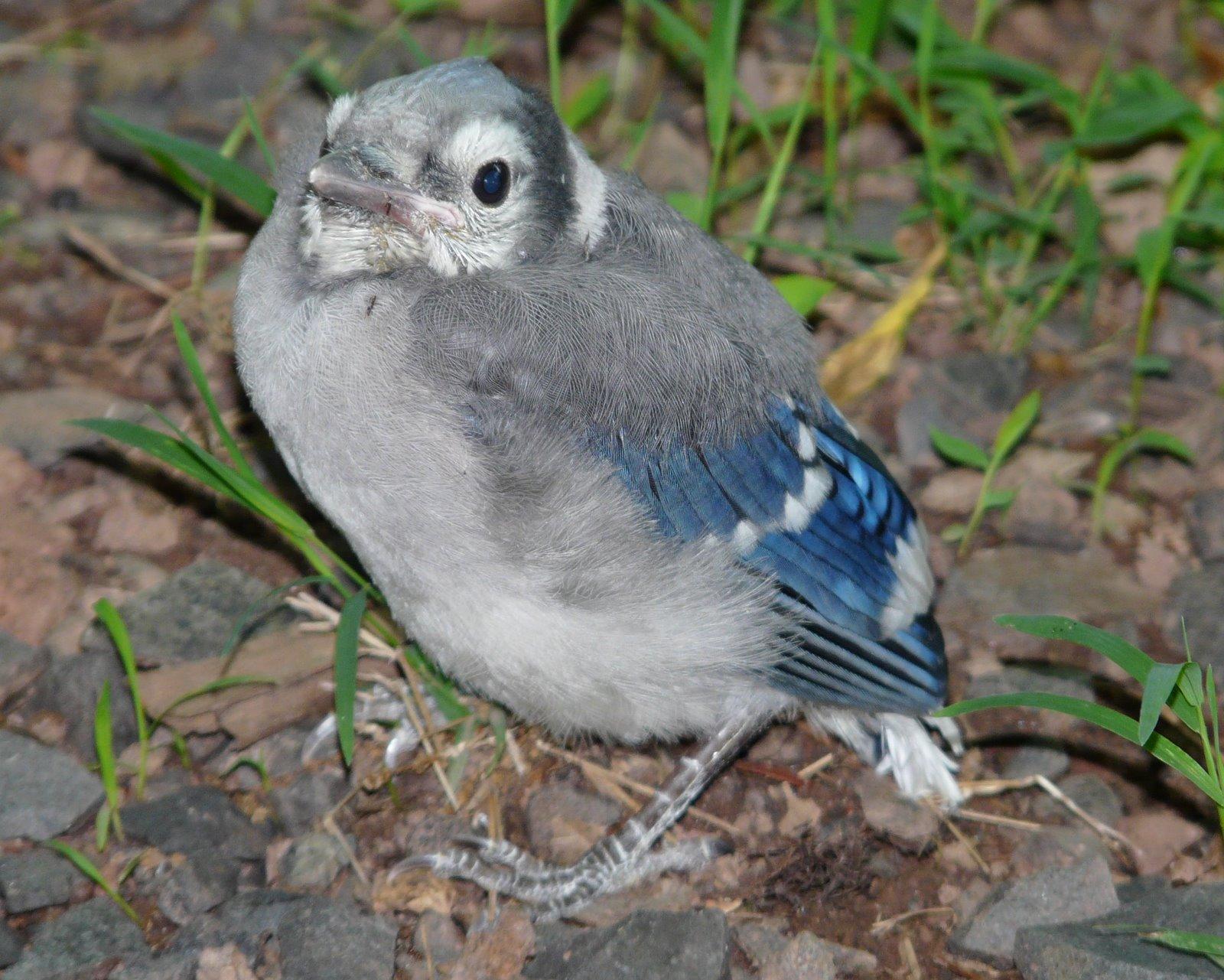 Baby Blue Jays- New Jersey Bird Photos