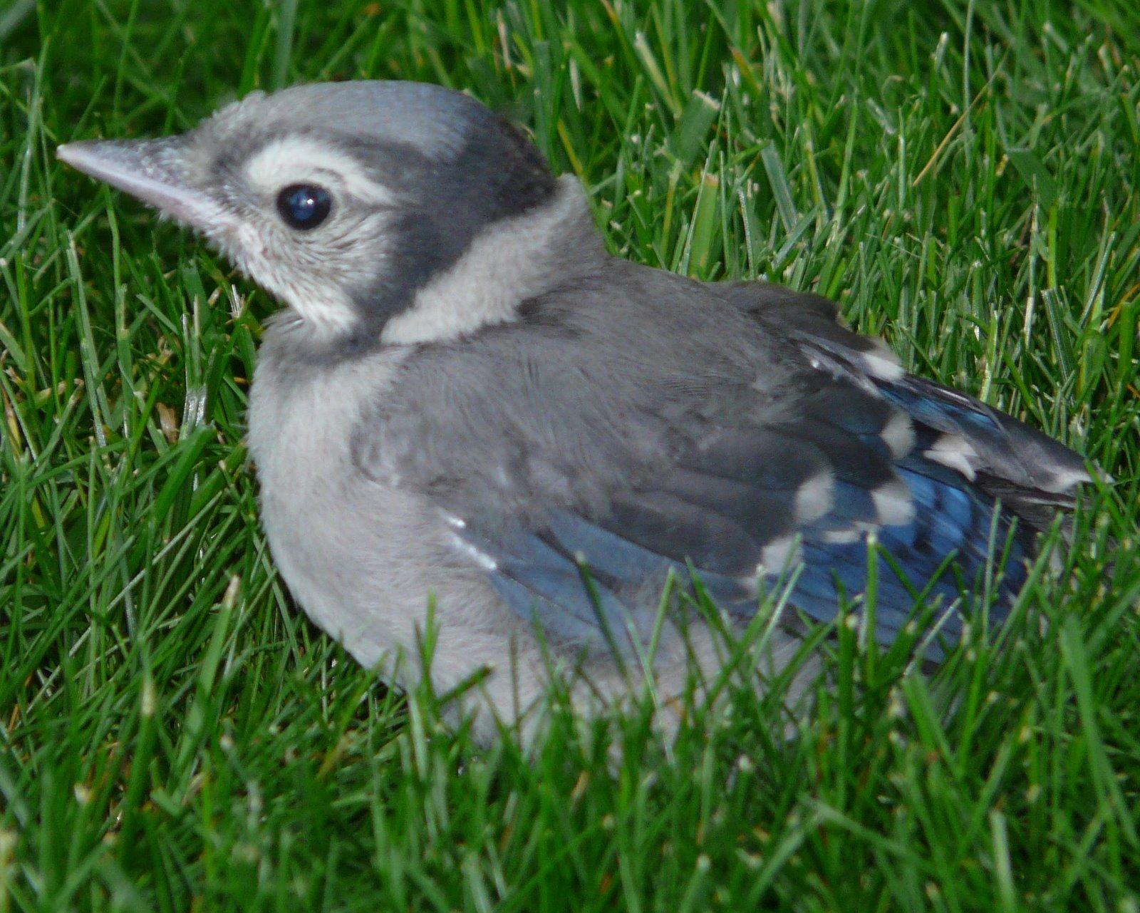 Baby Blue Jay Bird Baby Blue Jays- New Je...