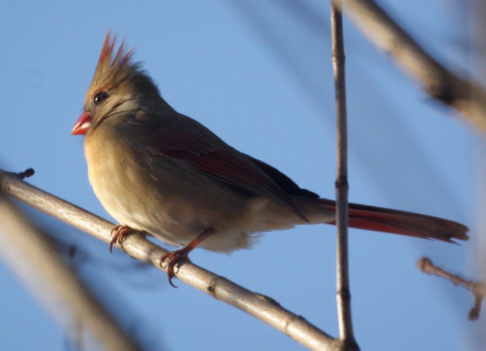 Winter Backyard Birds : miketes New Jersery in the Winter Common Backyard Birds