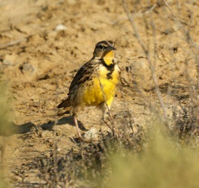 Western Meadowlark,