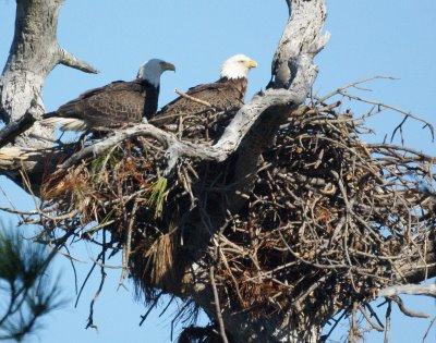 Bald Eagle,