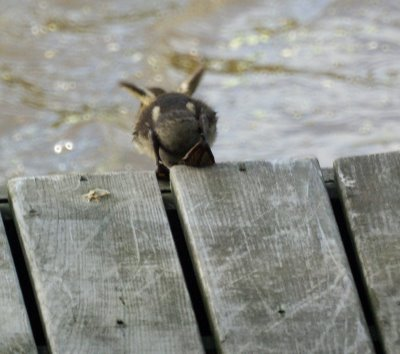 Baby Duck