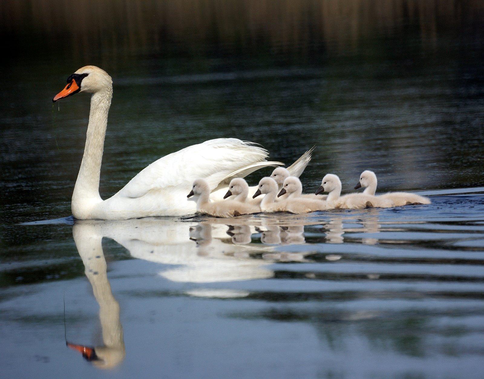 Swans on Pinterest   G...