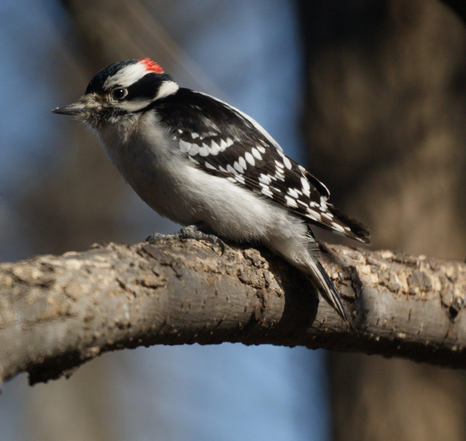 More Winter Birds Pine Siskin Downy 15