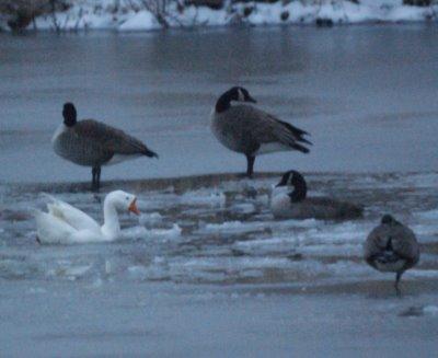 Geese Polar Bearing