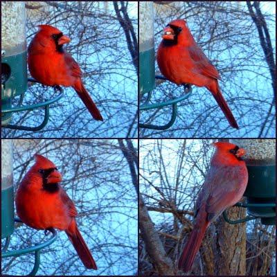 Northern Cardinal,