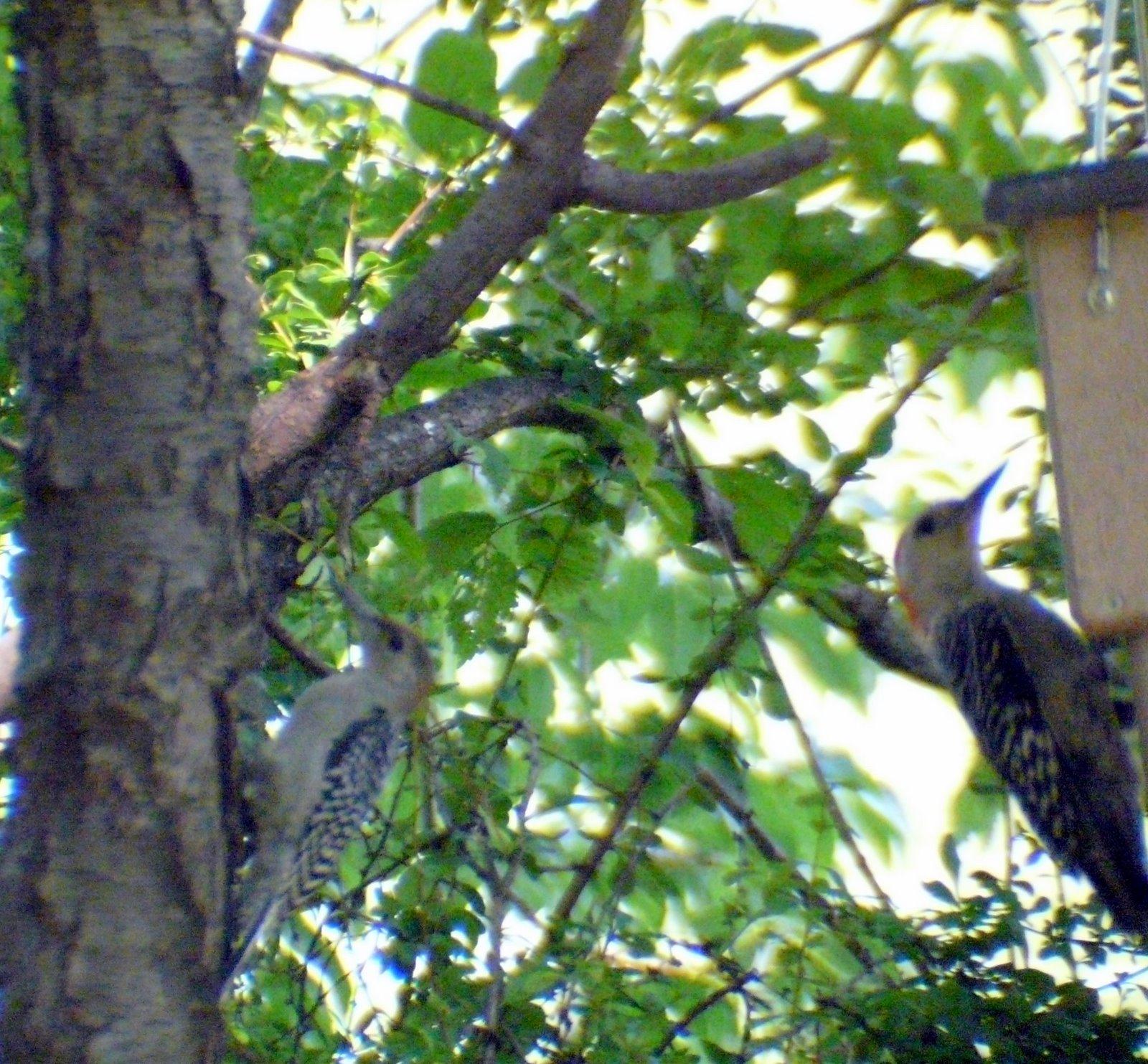 Red Bellied Woodpecker Babies Baby Red Bellied Woodpecker