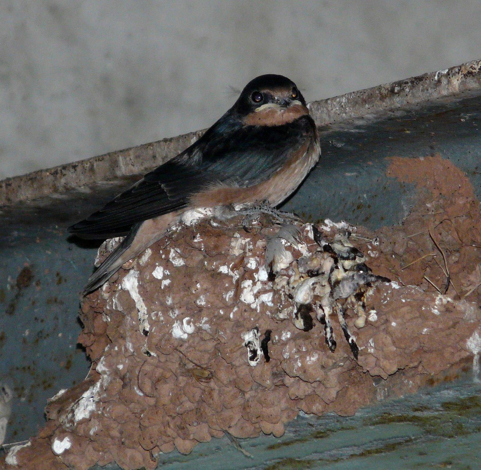 Baby Swallow Bird 82