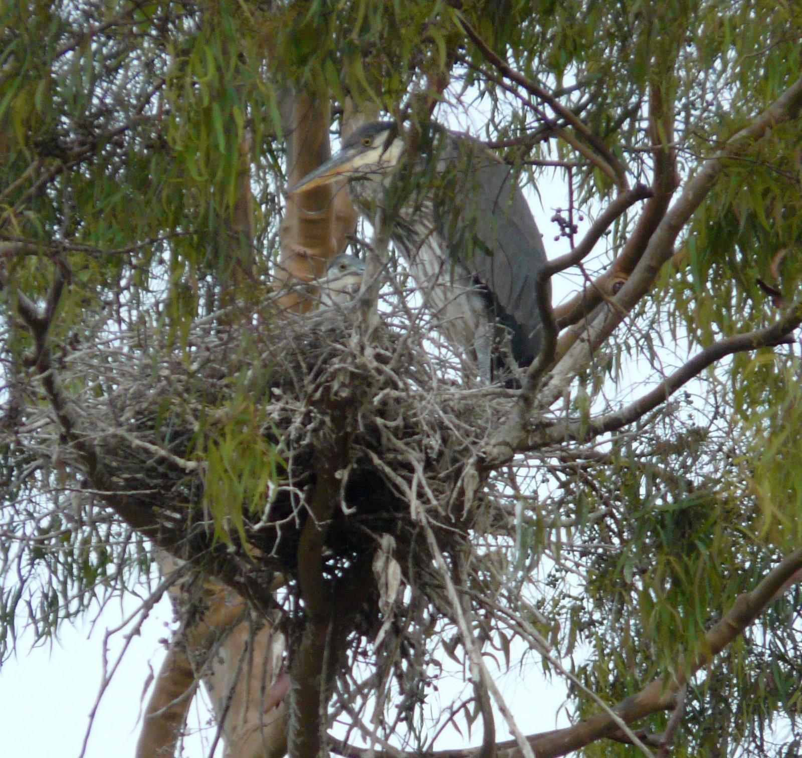 Great Blue Heron Nests- New Jersey Bird Photos