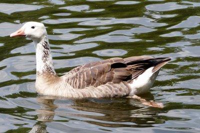 Hybrid Goose